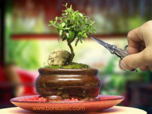 indoor beginners bonsai mini aromatic herbal bonsai tree for home or office tabletop display bonsai tree office