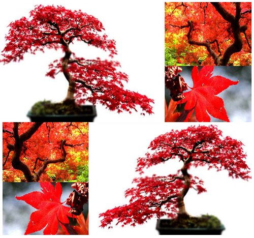 Red Maple Tree Seeds Acer Rubrum Excellent For Japanese Bonsai